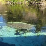 Manatee at Wikee Watchee